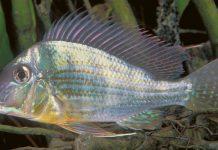 peluang usaha budidaya ikan hias air tawar
